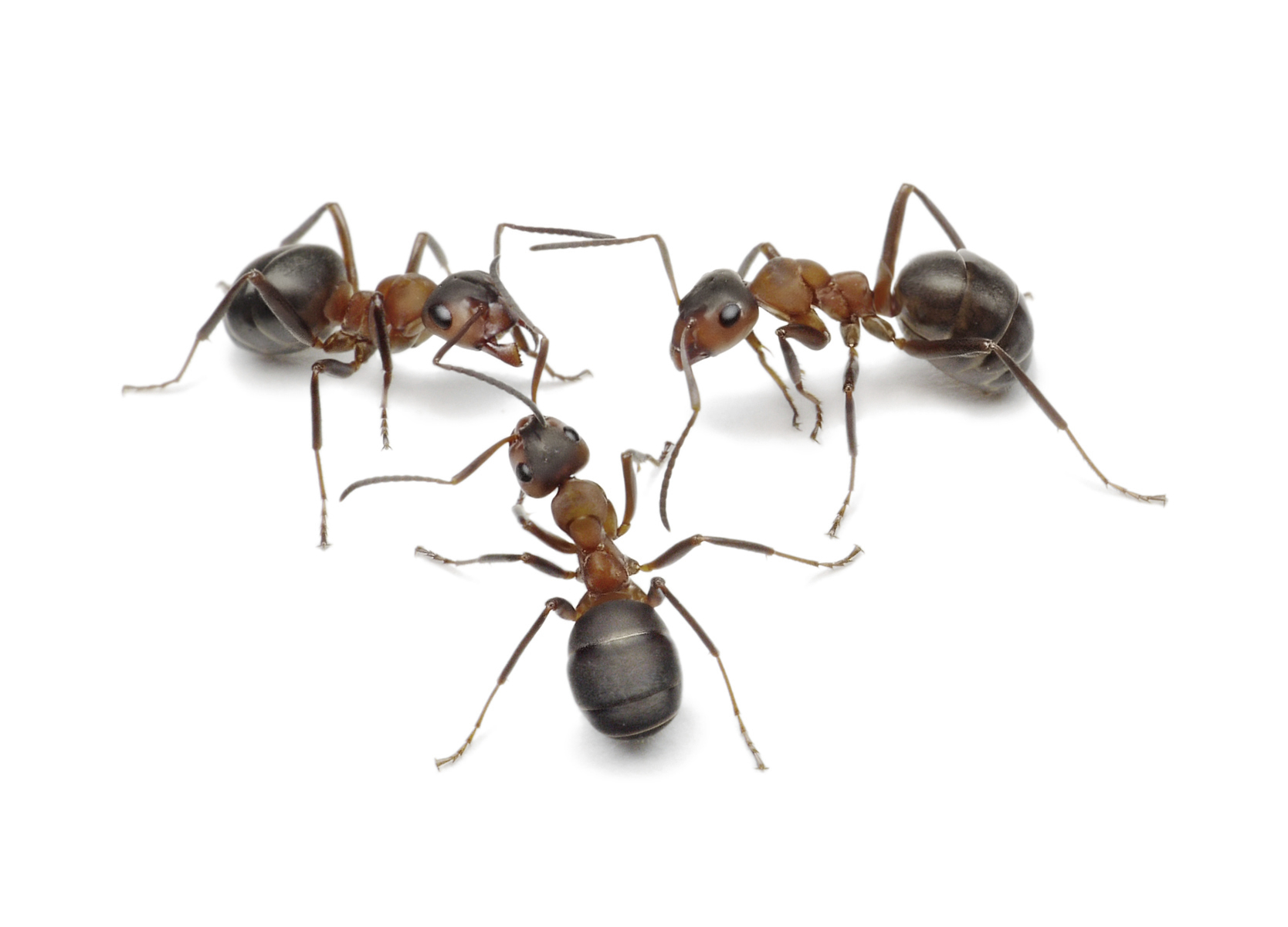 Don't Be The One Caught in the Ant Trap
