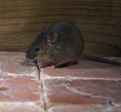 Cold Weather Brings Rodents Inside