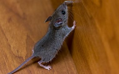 Easy Steps For Preventing Mice